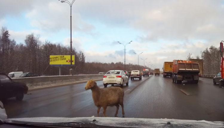 Camino de obstáculos en Moscú con una oveja perdida en carretera